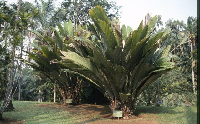 http://media.e-taxonomy.eu/palmae/photos/palm_tc_181804_1.jpg
