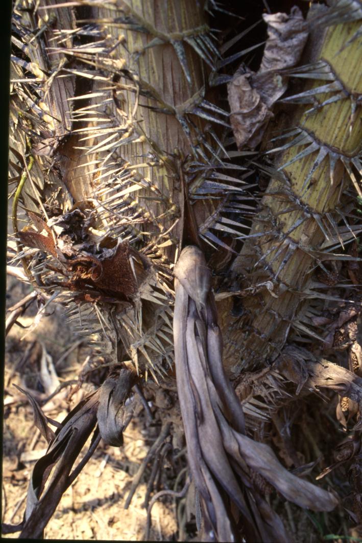 http://media.e-taxonomy.eu/palmae/photos/palm_tc_181817_6.jpg
