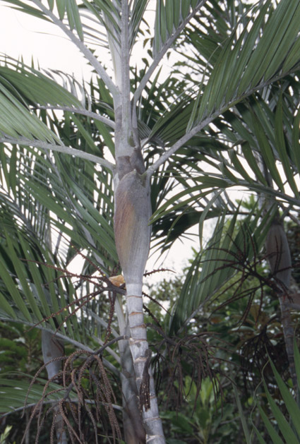 http://media.e-taxonomy.eu/palmae/photos/palm_tc_19959_1.jpg