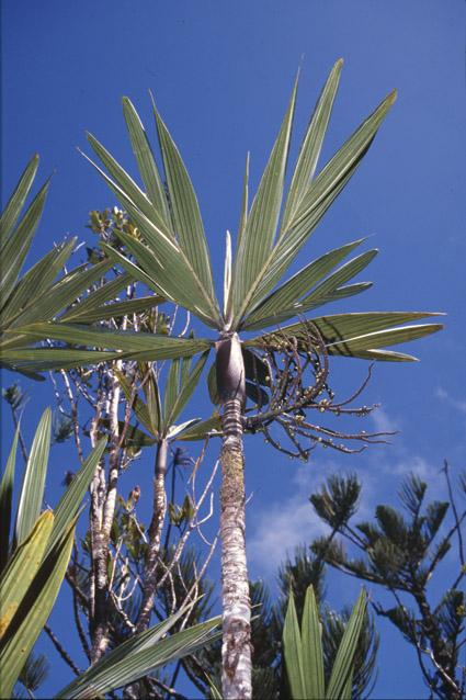http://media.e-taxonomy.eu/palmae/photos/palm_tc_19959_2.jpg