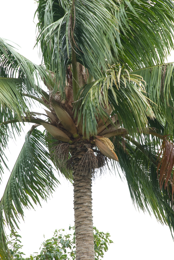 http://media.e-taxonomy.eu/palmae/photos/palm_tc_20300_13.jpg