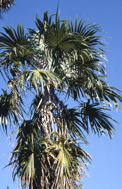 http://media.e-taxonomy.eu/palmae/photos/palm_tc_203987_2.jpg