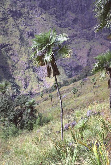 http://media.e-taxonomy.eu/palmae/photos/palm_tc_207163_1.jpg