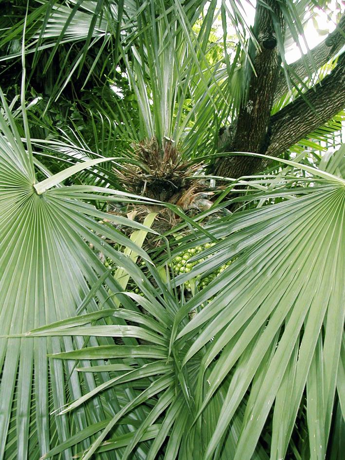 http://media.e-taxonomy.eu/palmae/photos/palm_tc_209204_4.jpg