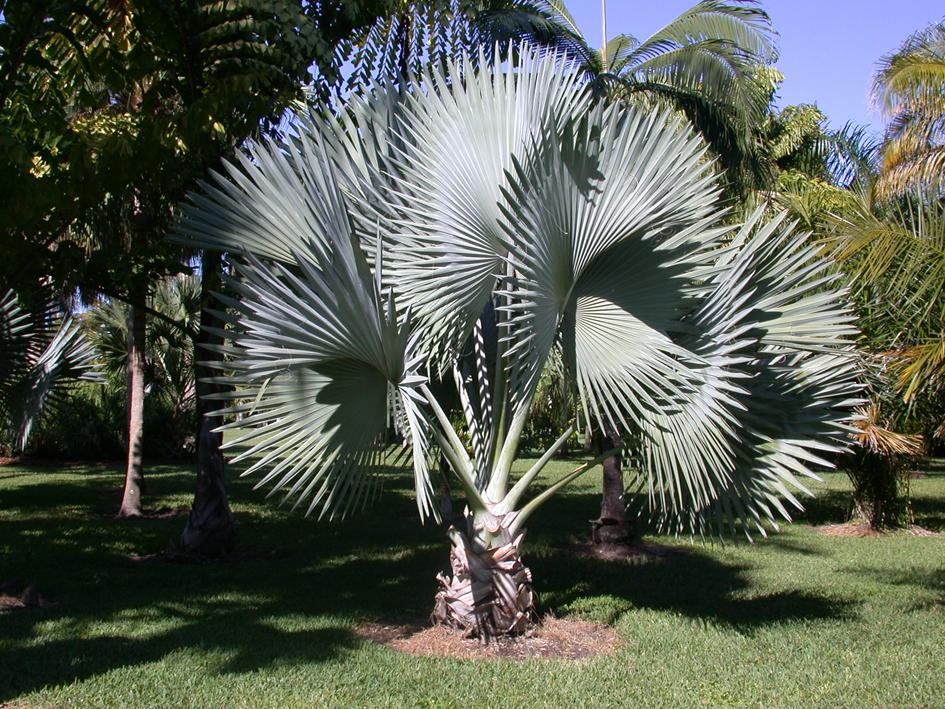 http://media.e-taxonomy.eu/palmae/photos/palm_tc_22257_12.jpg