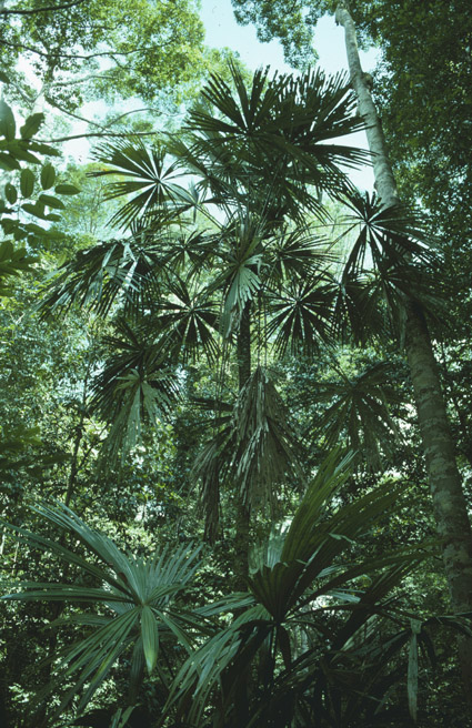 http://media.e-taxonomy.eu/palmae/photos/palm_tc_22997_1.jpg