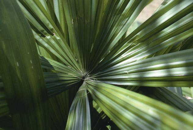 http://media.e-taxonomy.eu/palmae/photos/palm_tc_22998_5.jpg