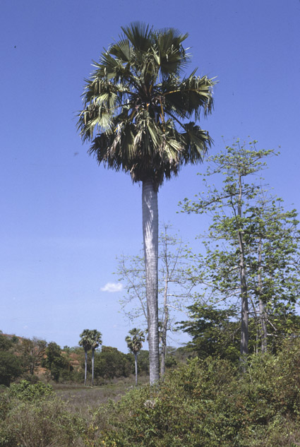 http://media.e-taxonomy.eu/palmae/photos/palm_tc_23000_4.jpg