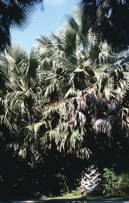 http://media.e-taxonomy.eu/palmae/photos/palm_tc_23000_5.jpg