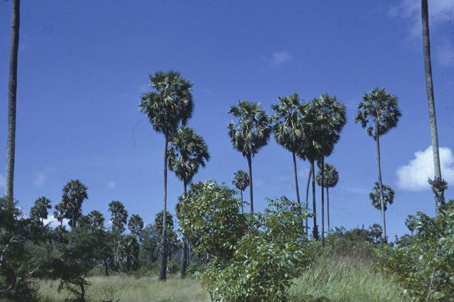 http://media.e-taxonomy.eu/palmae/photos/palm_tc_23006_2.jpg