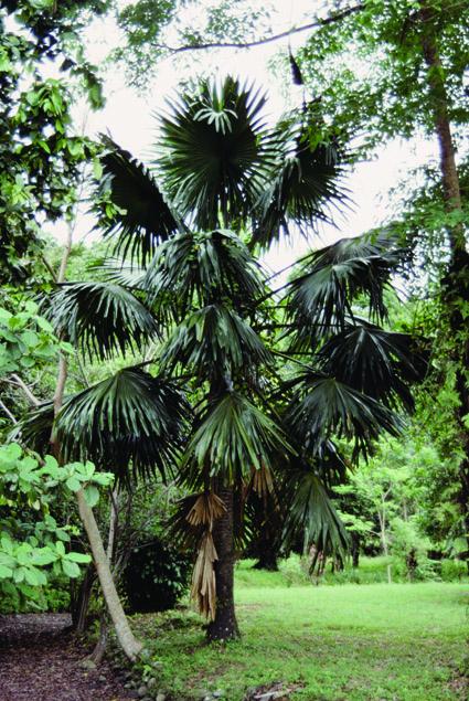http://media.e-taxonomy.eu/palmae/photos/palm_tc_23011_3.jpg