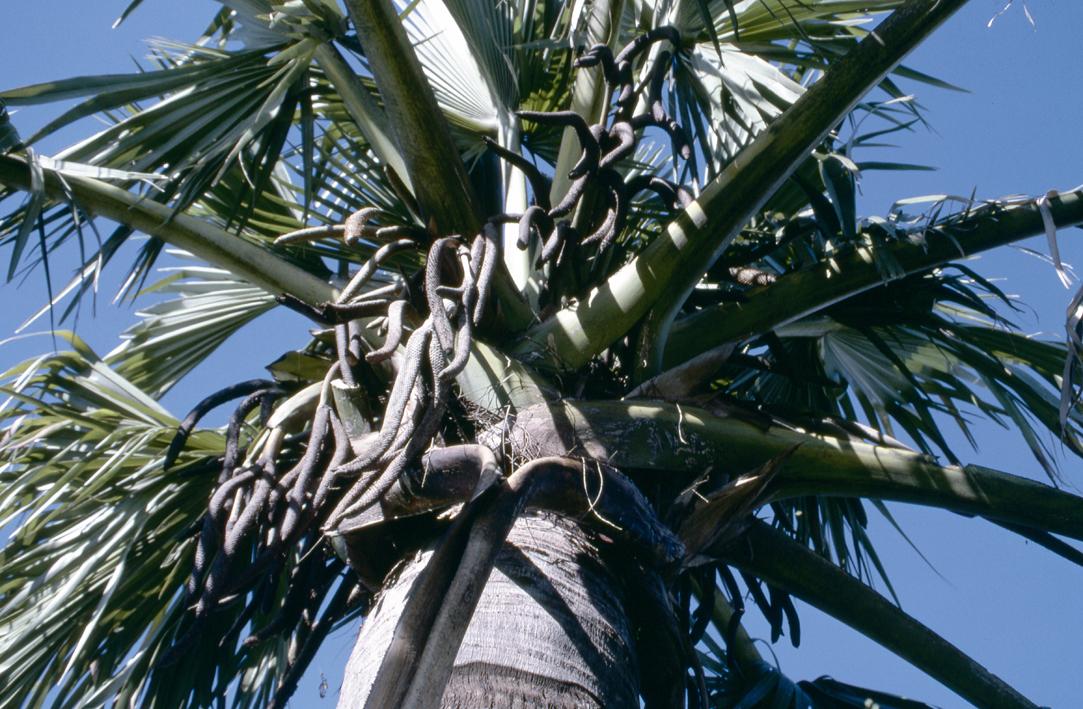 http://media.e-taxonomy.eu/palmae/photos/palm_tc_23014_8.jpg