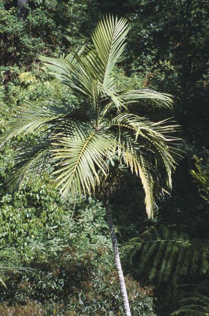 http://media.e-taxonomy.eu/palmae/photos/palm_tc_28126_2.jpg