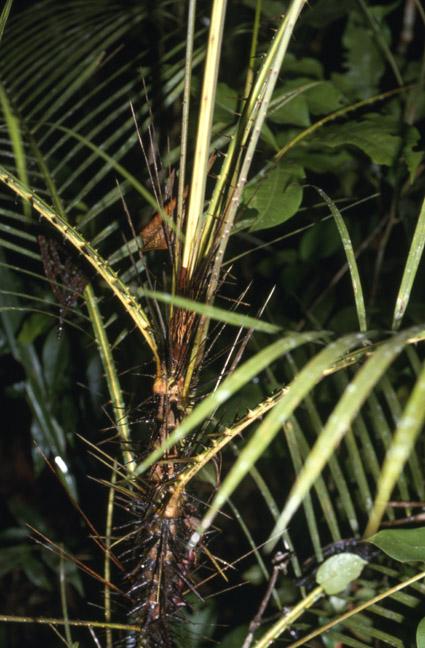 http://media.e-taxonomy.eu/palmae/photos/palm_tc_29684_2.jpg
