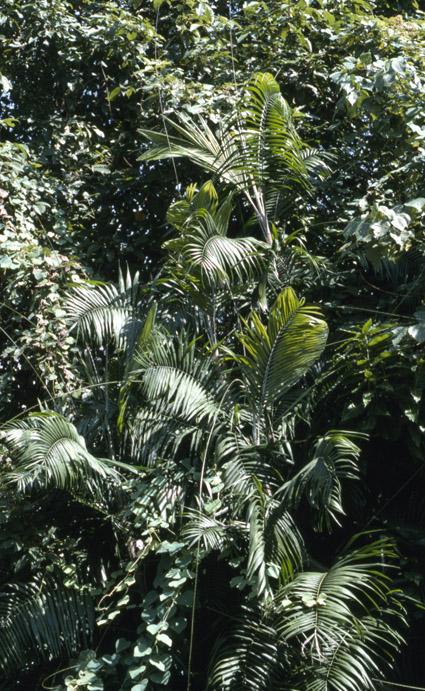 http://media.e-taxonomy.eu/palmae/photos/palm_tc_29997_1.jpg