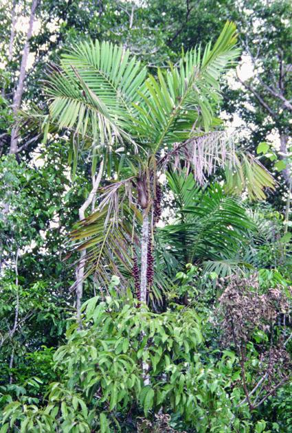 http://media.e-taxonomy.eu/palmae/photos/palm_tc_32654_1.jpg