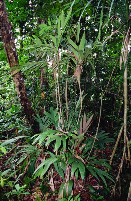 http://media.e-taxonomy.eu/palmae/photos/palm_tc_32670_1.jpg