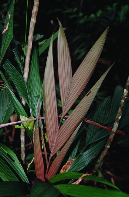 http://media.e-taxonomy.eu/palmae/photos/palm_tc_32670_3.jpg