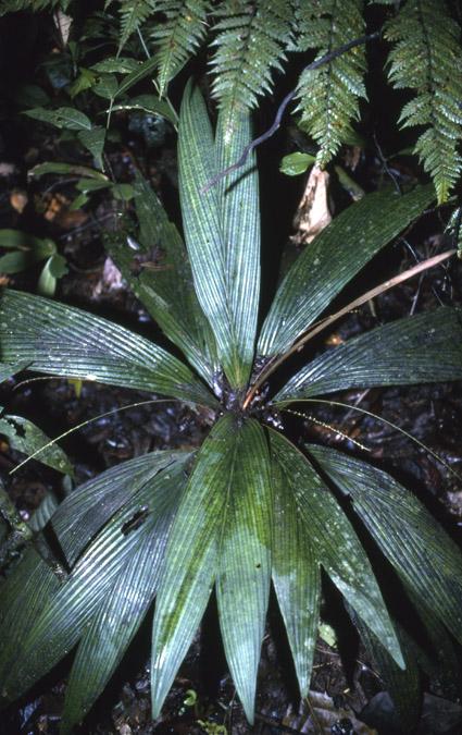 http://media.e-taxonomy.eu/palmae/photos/palm_tc_32677_2.jpg