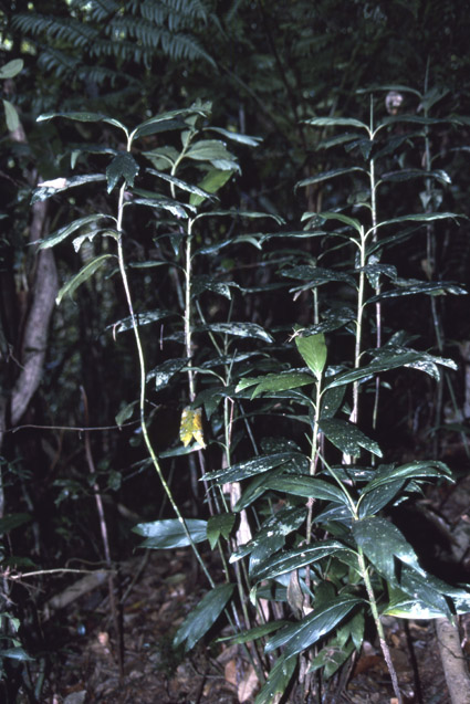 http://media.e-taxonomy.eu/palmae/photos/palm_tc_332706_1.jpg