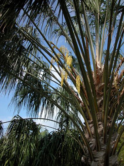 http://media.e-taxonomy.eu/palmae/photos/palm_tc_335062_1.jpg