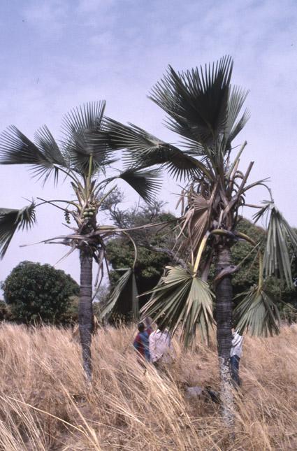 http://media.e-taxonomy.eu/palmae/photos/palm_tc_346107_2.jpg