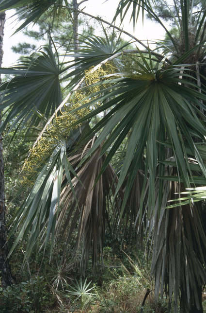 http://media.e-taxonomy.eu/palmae/photos/palm_tc_351387_4.jpg