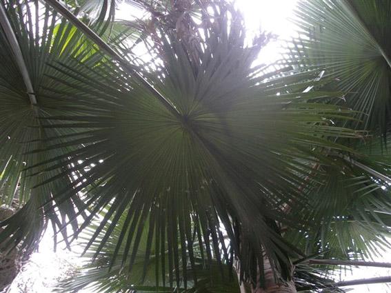 http://media.e-taxonomy.eu/palmae/photos/palm_tc_351389_8.jpg