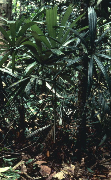 http://media.e-taxonomy.eu/palmae/photos/palm_tc_38891_3.jpg