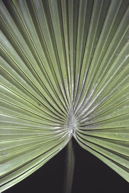 http://media.e-taxonomy.eu/palmae/photos/palm_tc_40338_2.jpg