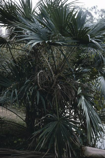 http://media.e-taxonomy.eu/palmae/photos/palm_tc_40338_3.jpg