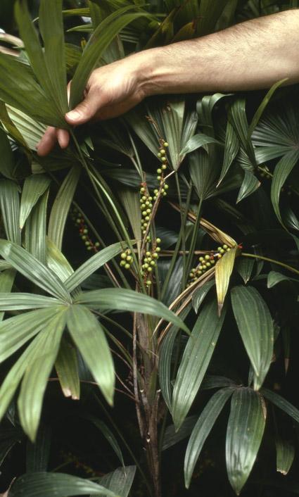 http://media.e-taxonomy.eu/palmae/photos/palm_tc_40340_3.jpg