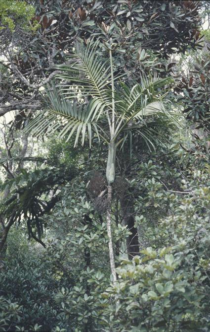 http://media.e-taxonomy.eu/palmae/photos/palm_tc_43721_1.jpg