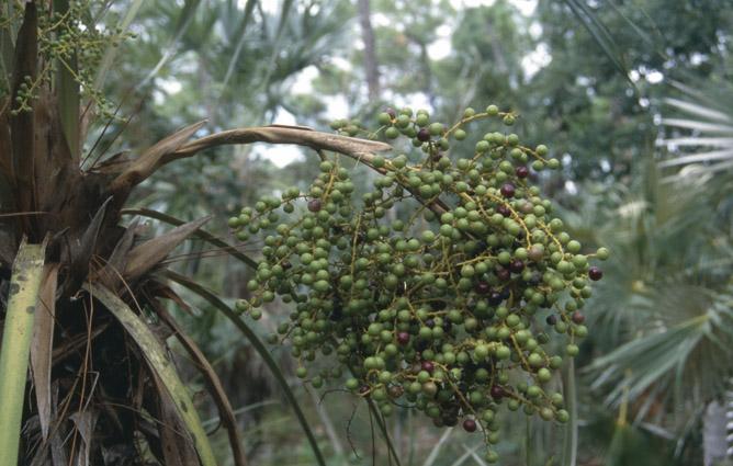 http://media.e-taxonomy.eu/palmae/photos/palm_tc_44377_3.jpg
