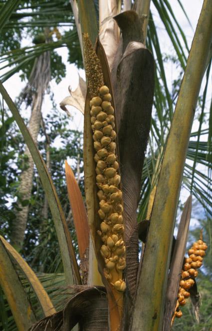http://media.e-taxonomy.eu/palmae/photos/palm_tc_44645_1.jpg
