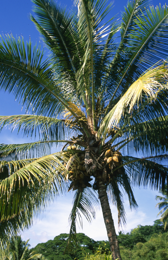 http://media.e-taxonomy.eu/palmae/photos/palm_tc_44645_12.jpg