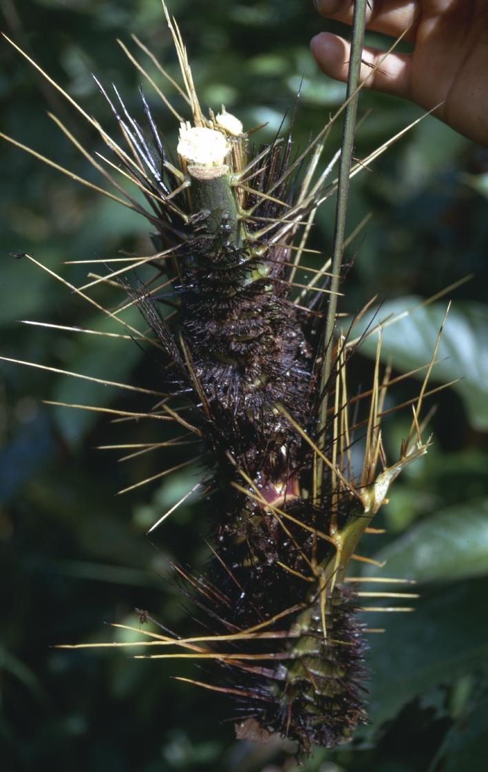 http://media.e-taxonomy.eu/palmae/photos/palm_tc_55706_1.jpg