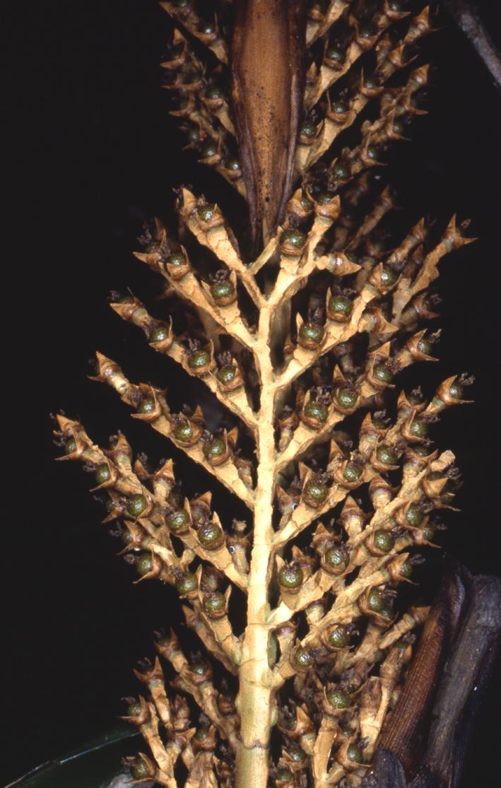 http://media.e-taxonomy.eu/palmae/photos/palm_tc_55754_1.jpg