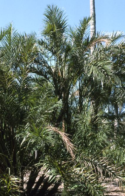 http://media.e-taxonomy.eu/palmae/photos/palm_tc_6143_1.jpg
