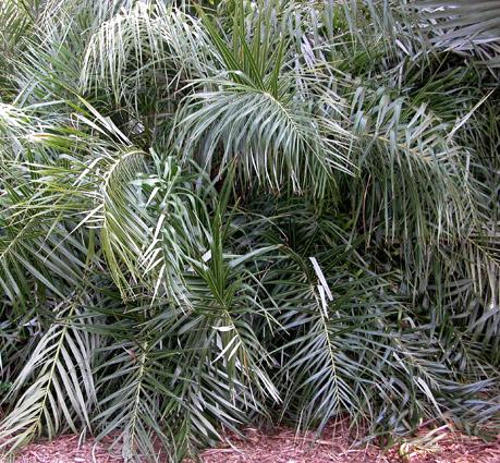 http://media.e-taxonomy.eu/palmae/photos/palm_tc_6143_2.jpg