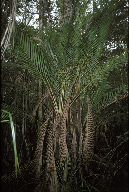 http://media.e-taxonomy.eu/palmae/photos/palm_tc_65404_1.jpg