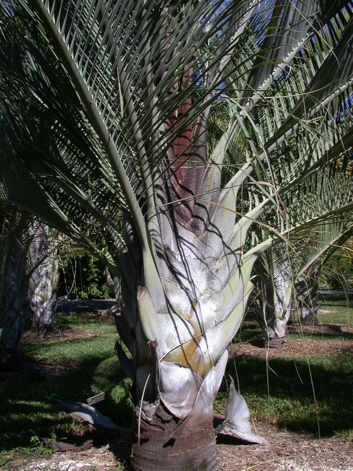 http://media.e-taxonomy.eu/palmae/photos/palm_tc_65432_5.jpg