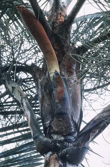 http://media.e-taxonomy.eu/palmae/photos/palm_tc_65468_3.jpg