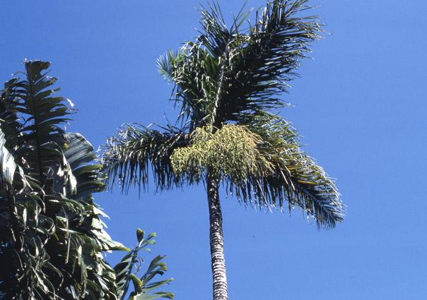 http://media.e-taxonomy.eu/palmae/photos/palm_tc_65483_3.jpg