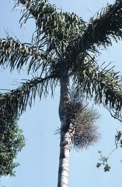 http://media.e-taxonomy.eu/palmae/photos/palm_tc_65501_3.jpg