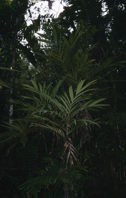 http://media.e-taxonomy.eu/palmae/photos/palm_tc_65504_3.jpg