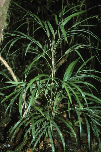 http://media.e-taxonomy.eu/palmae/photos/palm_tc_65537_1.jpg