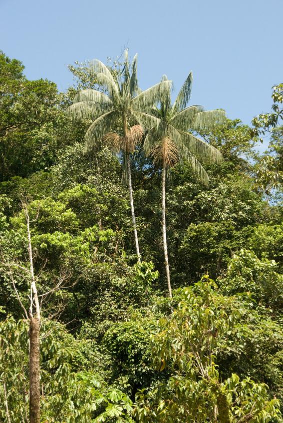 http://media.e-taxonomy.eu/palmae/photos/palm_tc_83104_5.jpg