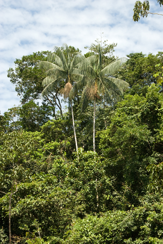 http://media.e-taxonomy.eu/palmae/photos/palm_tc_83104_6.jpg