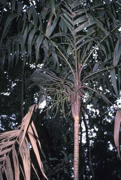 http://media.e-taxonomy.eu/palmae/photos/palm_tc_89592_1.jpg